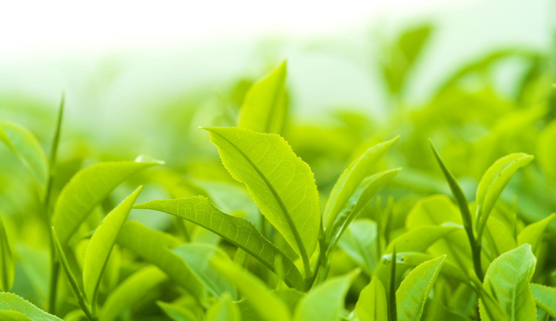 Bí quyết để có một làn da đẹp với trà xanh